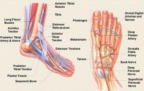 anatomy-foot-2
